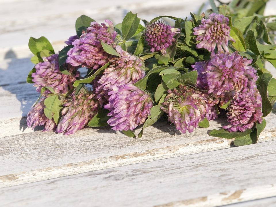 Red Clover, Grassland Plants, Menopause, Nature, Herbs
