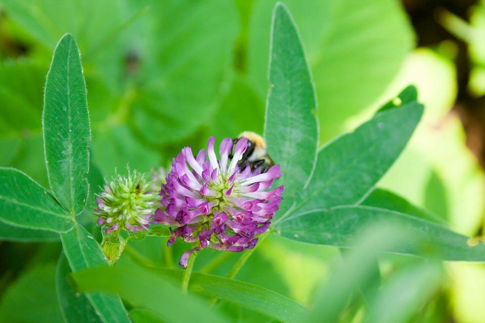 Trifolium Pratense, Red Clover, Meadow, Plant, Grass
