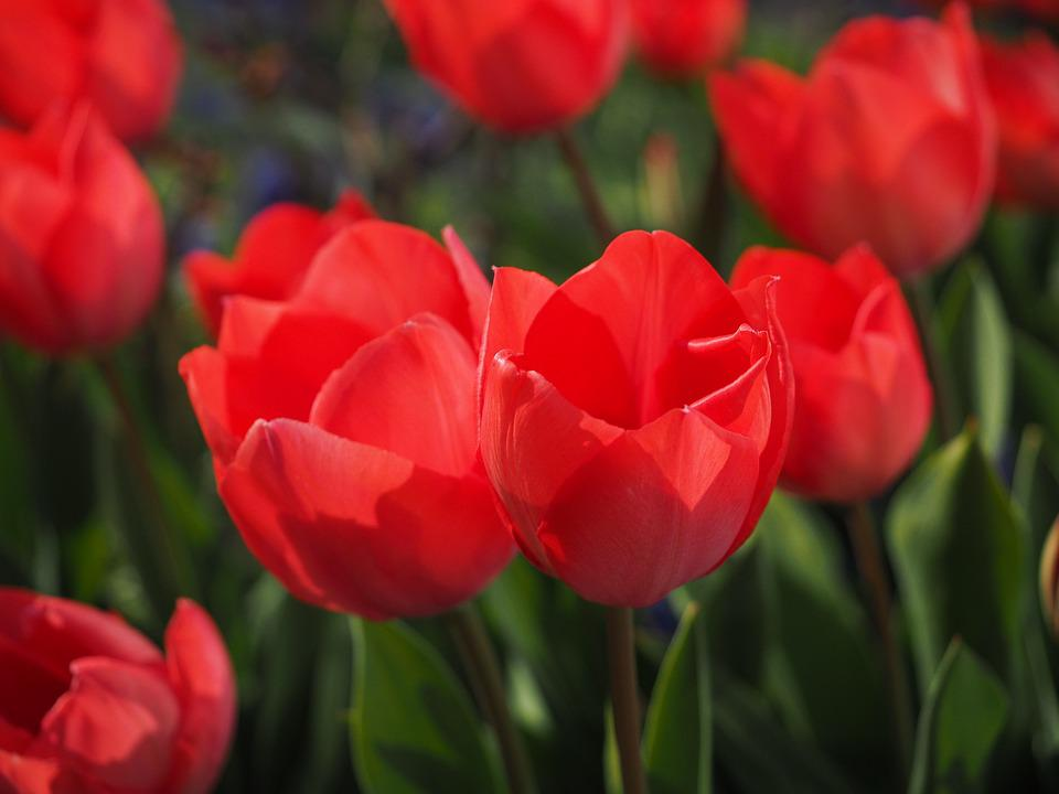 Tulips, Red, Flowers, Spring, Close, Colorful, Color