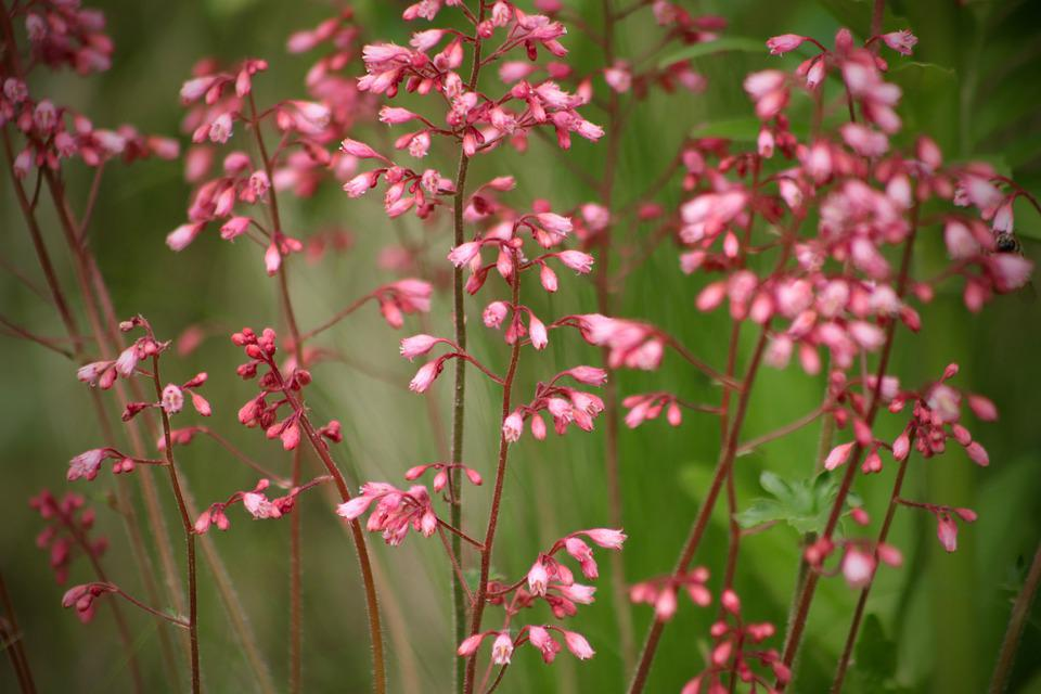 Coral Bells, Flowers, Red, Garden, Bloom, Flower, Plant