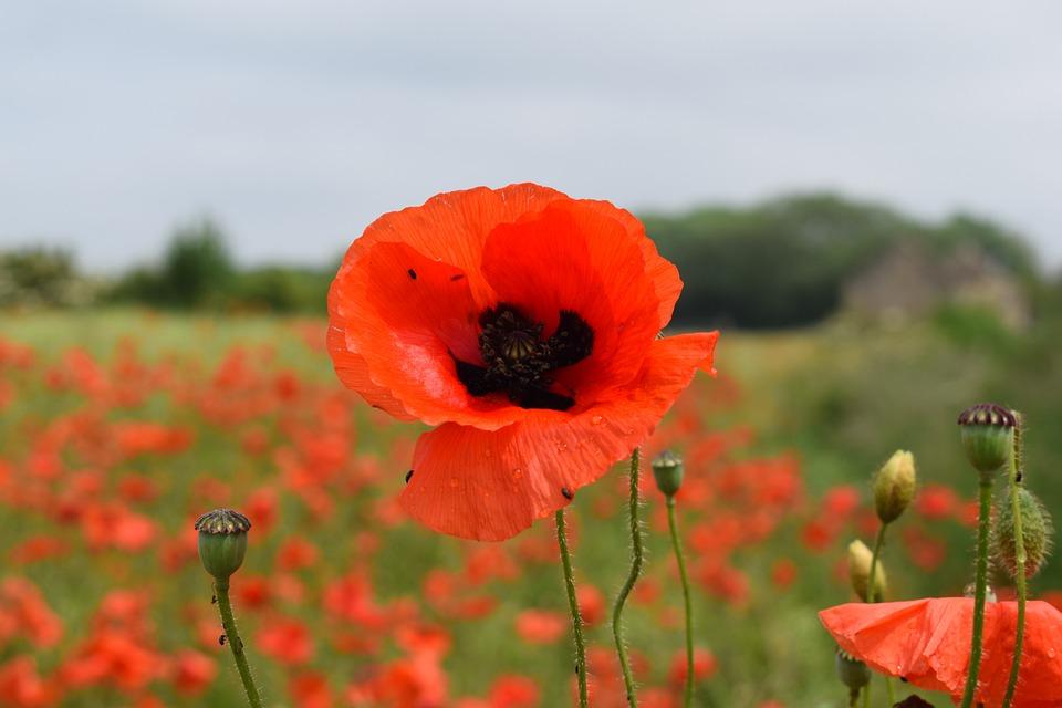 Poppy, Red, Summer, Bloom, Countryside, Stem, Bud