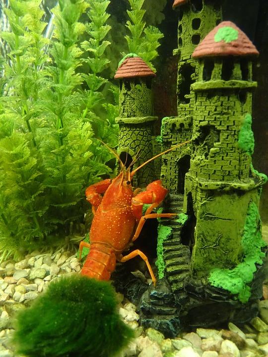 Crayfish, Crustacean, Red, Pincers, Crayfish River