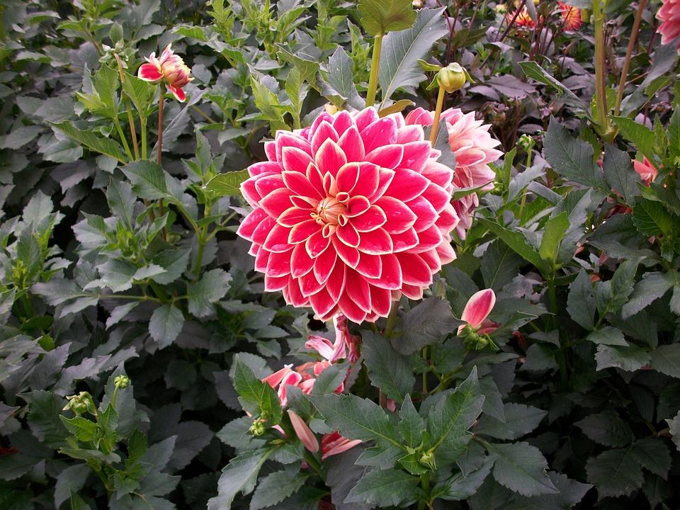Dahlias, Blossom, Bloom, Garden Plant, Red