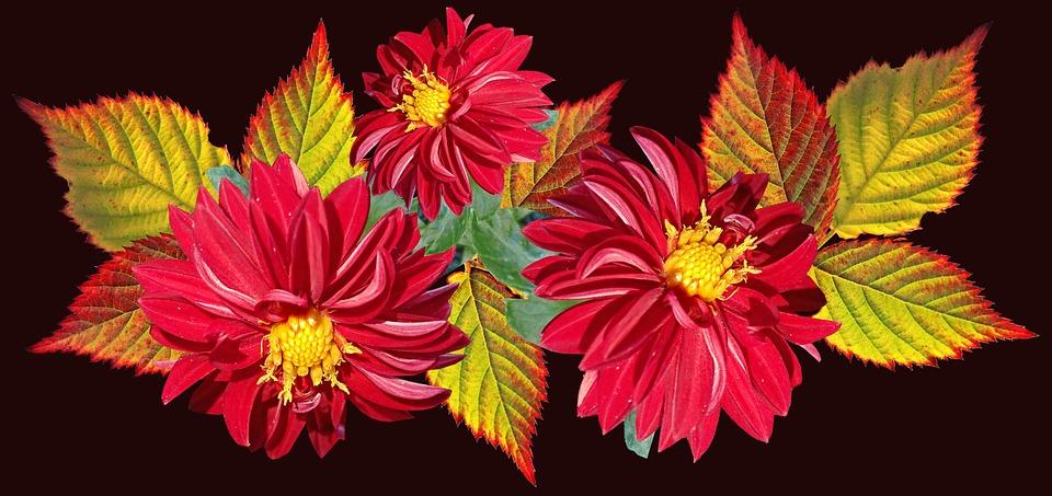Flowers, Red, Dahlias, Leaves, Autumn, Blackberry
