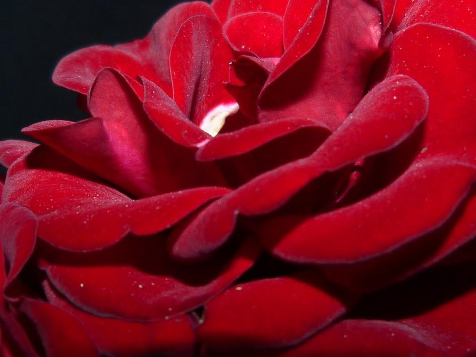 Roses, Red, Night, Lighting, Darkness, Shadow, Flower