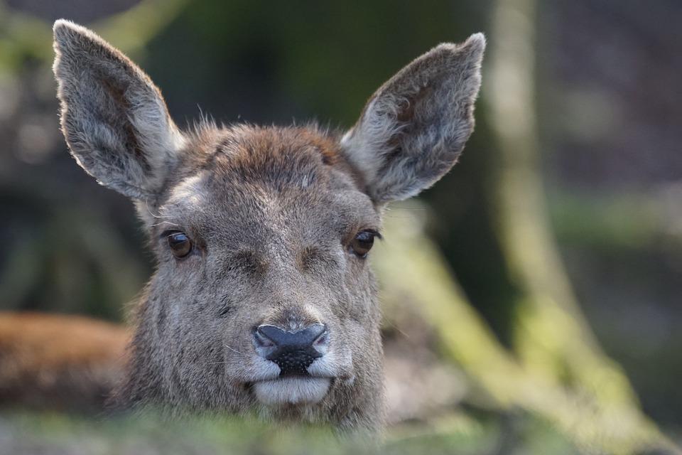 Red Deer, Cow, Ruminant, Herbivores, Mammal, Alpine