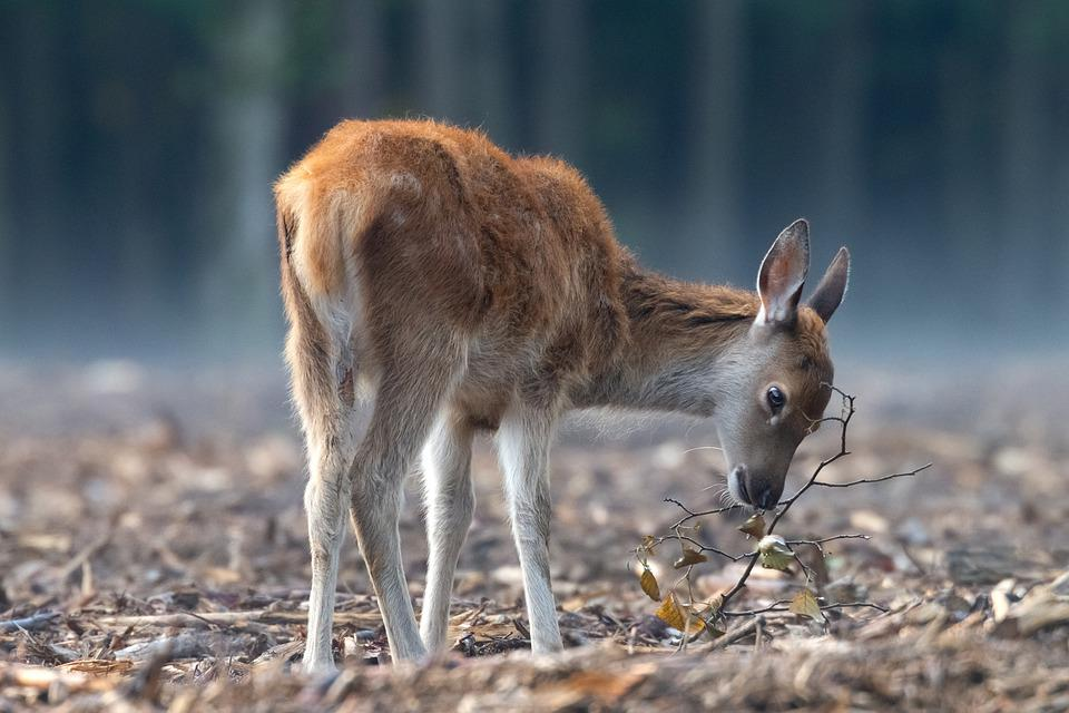 Deer, Red Deer, Wildlife, Nature, Wild Animal
