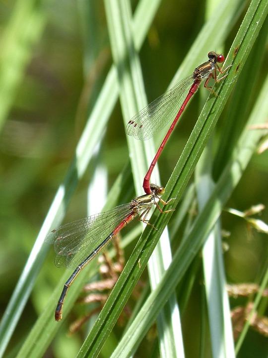 Red Dragonfly, Damselfly, Leaf, Wetland, Couple