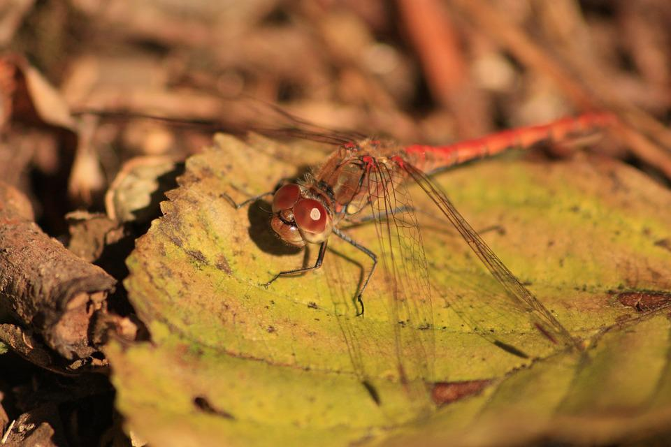 Dragonfly, Insect, Nature, Red Dragonfly, Close, Macro