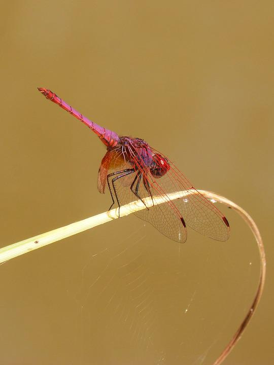 Red Dragonfly, Pipe Vinous, Annulata Trithemis, Leaf