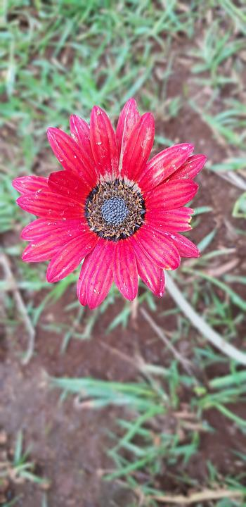 Flower, Red, Dull, Earth, Plant, Grass