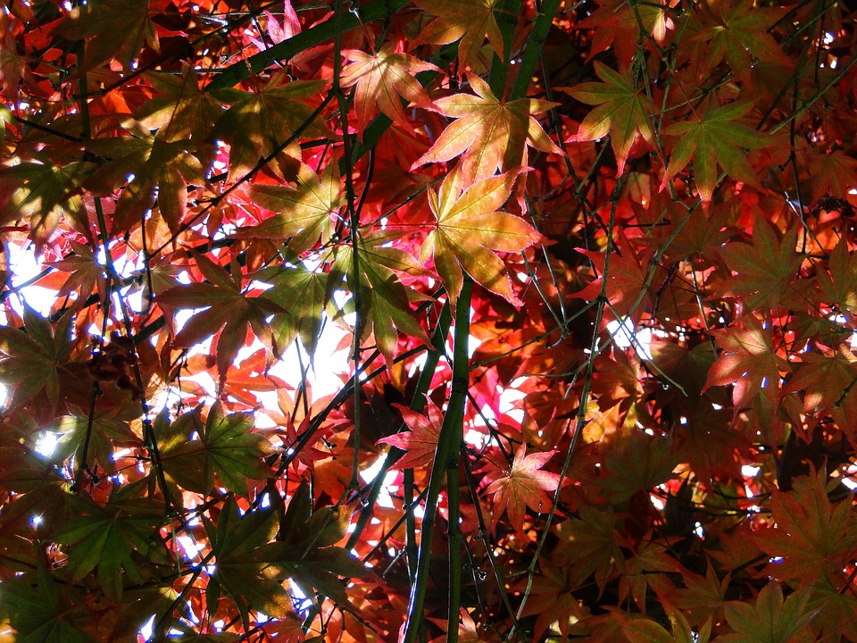 Autumn, Leaves, Red, Light, Nature, Fall Colors, Tree