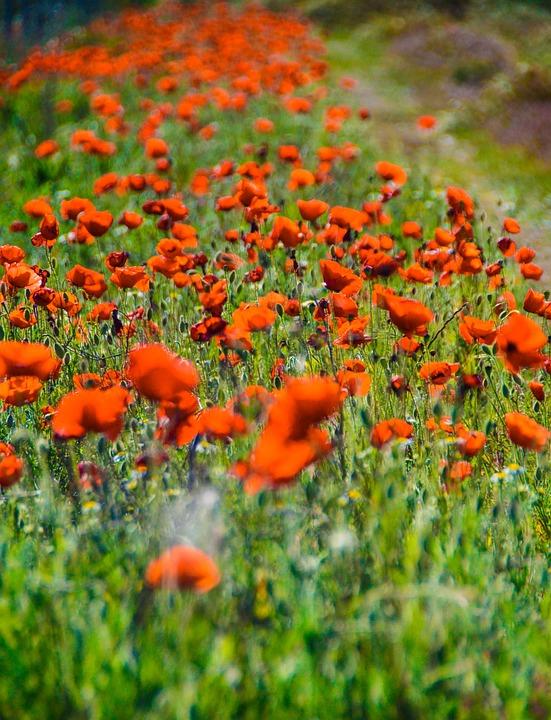 Red, Field, Poppy Flower
