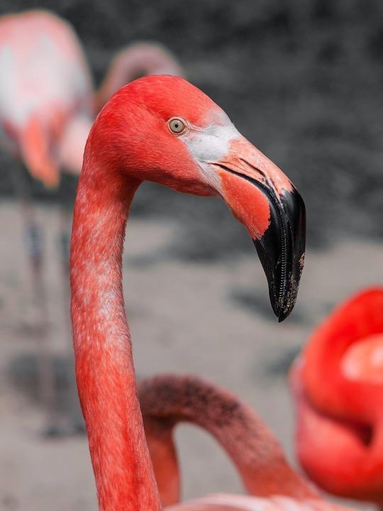 Bird, Flamingo, Pink, Red, Long Neck, Animal
