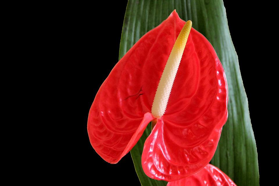 Flamingo Flower, Anthurium, Blossom, Bloom, Red