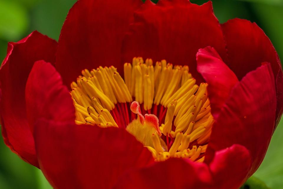 Flower, Red Flower, Red, Flora, Pistil