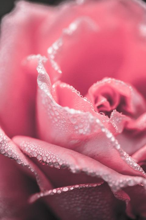 Rose, Close Up, Pink, Flower, Floral, Red, Love