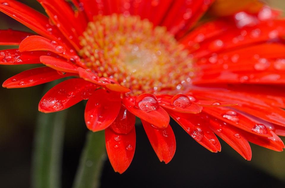 Blossom, Bloom, Red Flower, Drop Of Water, Flora, Red