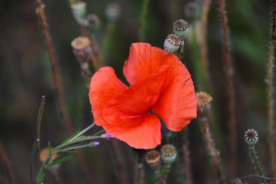 Poppy, Flower, Plant, Seed Pods, Red Flower, Bloom