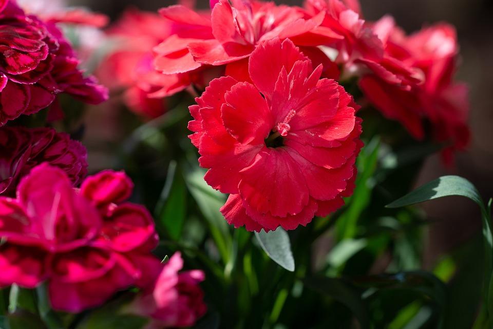 Cloves, Red, Red Carnation, Flower, Red Flower, Blossom