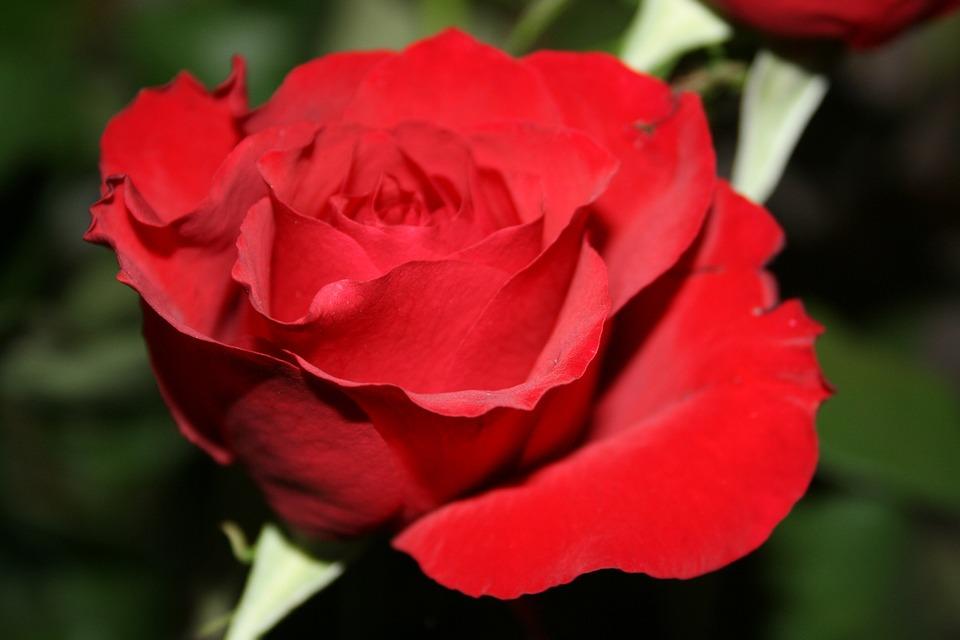 Rose, Red, Flower, Blossom, Romance
