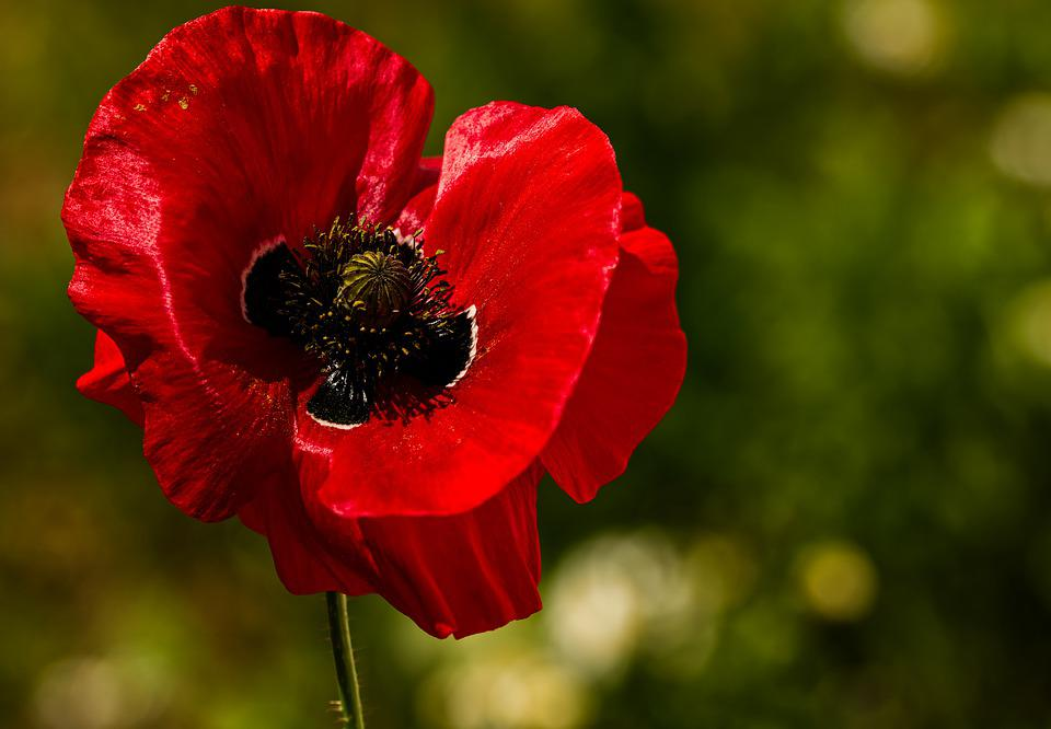 Poppy, Flower, Red Flower, Red Poppy, Pistil