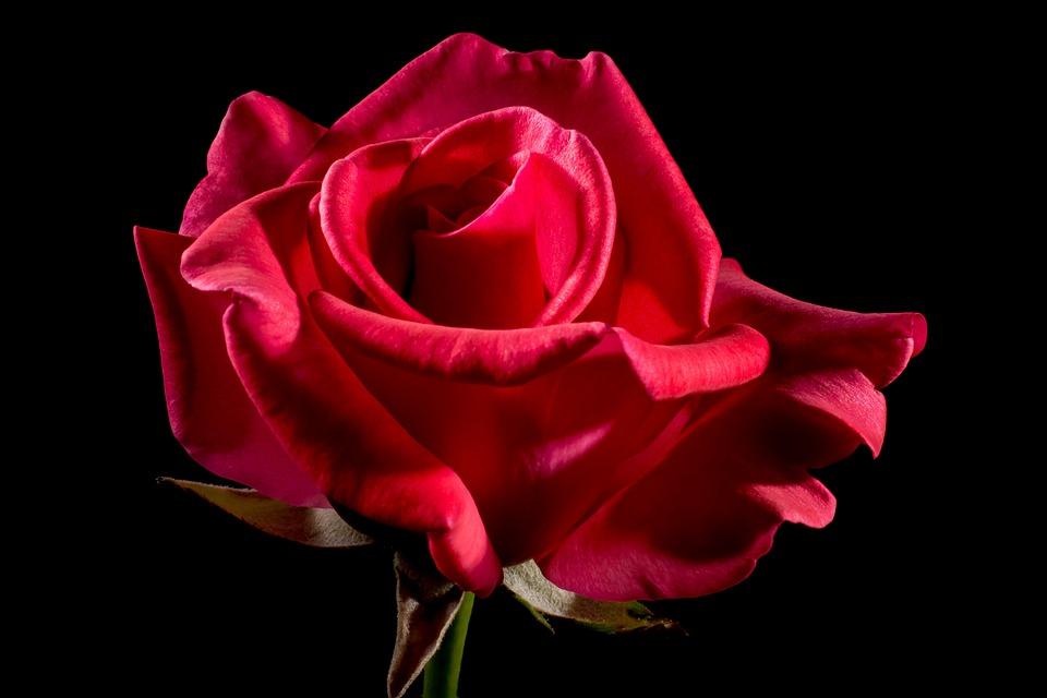 Red, Rose, Flower, Petals, Red Rose, Red Flower, Bloom