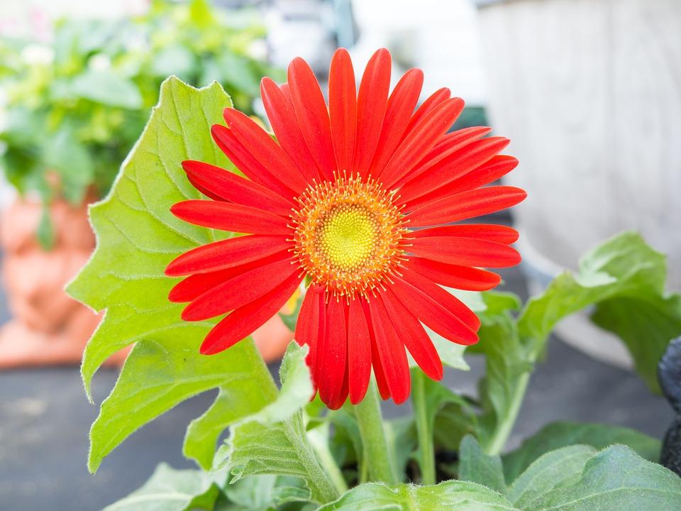 Gerbera, Flower, Blooming, Blossom, Red, Petals, Macro