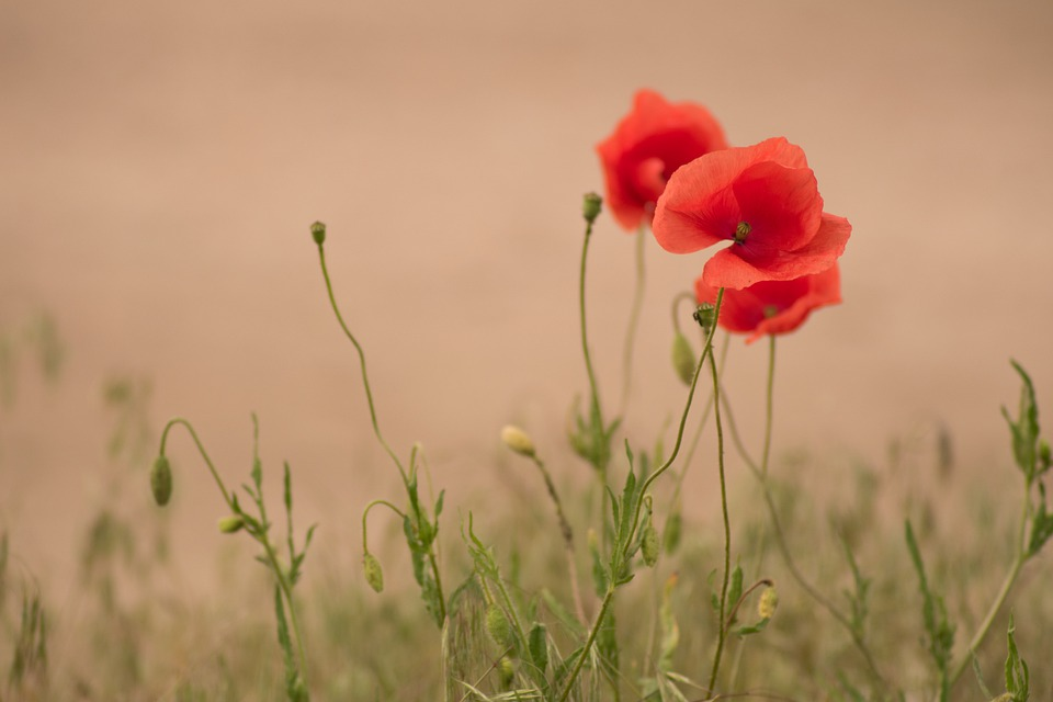 Poppy, Flower, Nature, Red, Plant, Poppies