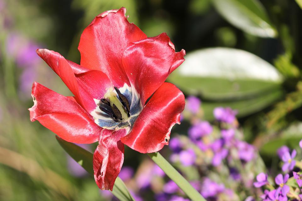 Tulip, Open, Red, Stamp, Detail, Flower Picture
