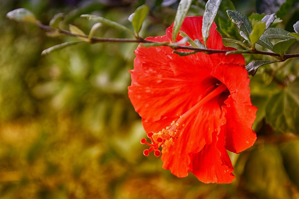 Hibiscus, Red, Flower, Nature, Plant, Floral, Leaf