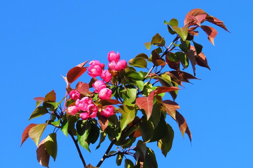 Flower, Leaf, Branch, Apple Tree, Plant, Red Flower