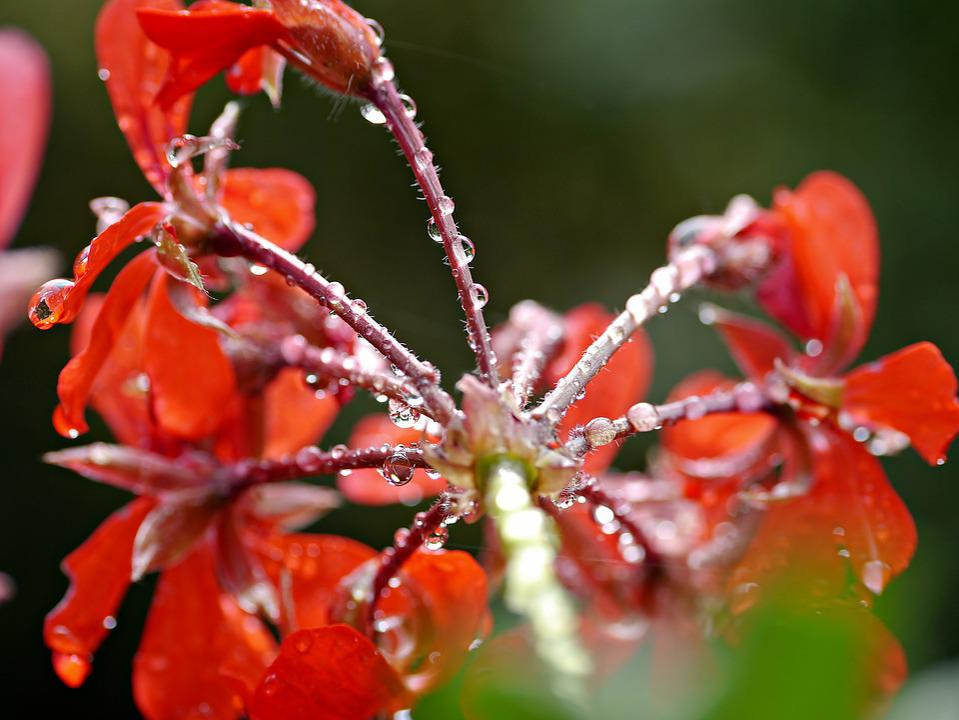 Flower, Geranium, Rain, Red Flower, Nature