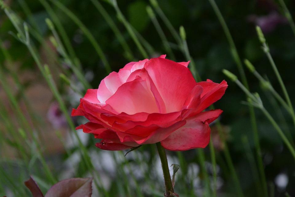 Flower, Red, Grass, Green, Red Flower, Blossom, Bloom