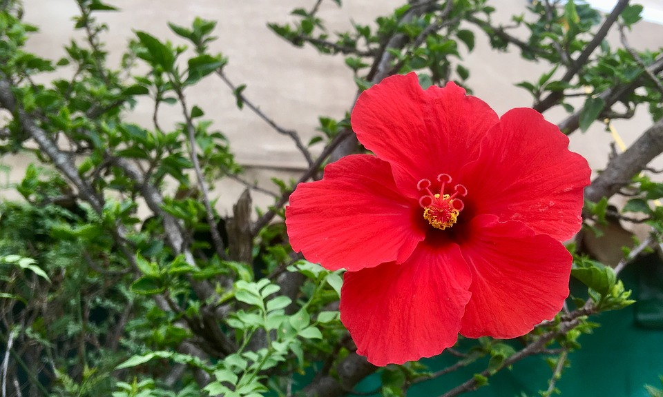 Red Flower, Red Hibiscus, Hibiscus, Flower, Red, Nature