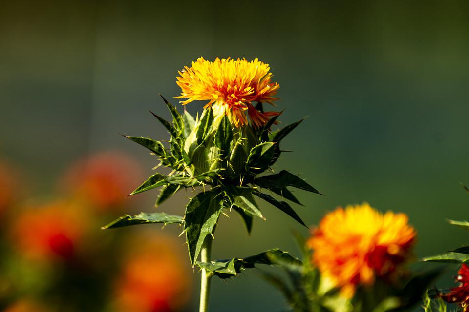 Safflower, Red, Flower, Yellow, Thorn