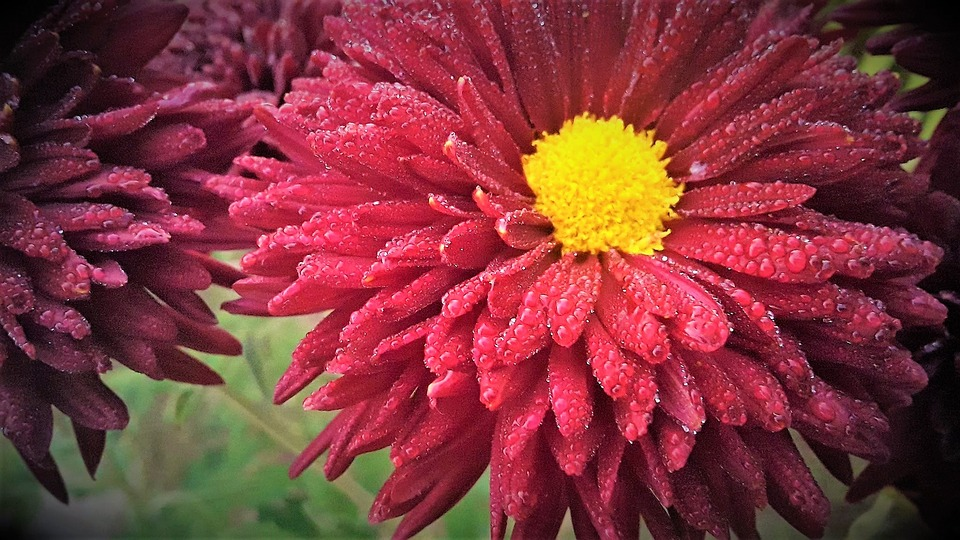 Red Flower, Sunflower, Dew Drops, Red Petals, Yellow