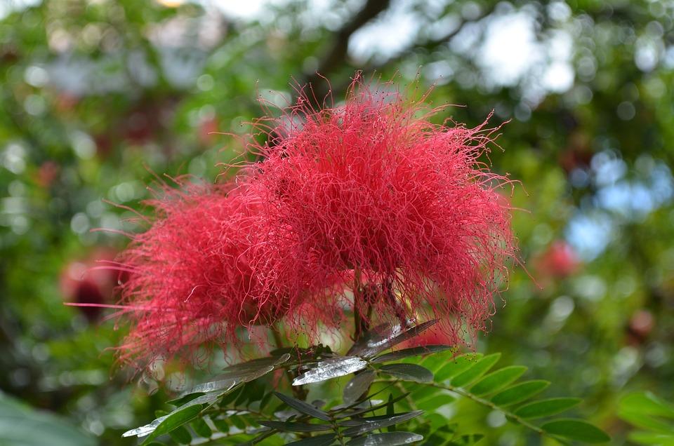 Silk Tree Flower, Red Flowers, Silk Tree, Beauty