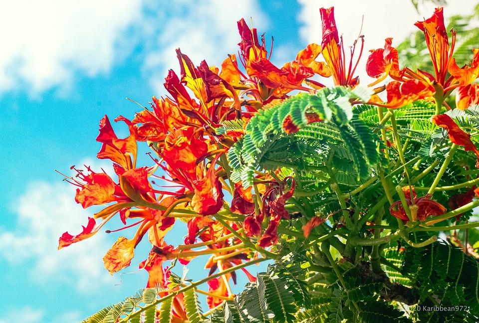 Summer, Red, Flamboyant, Nature, Flowers