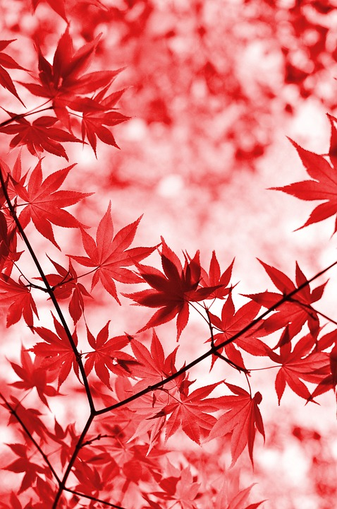 Maple, Red, Leaves, Tree, Foliage, Japanese Maple, Leaf