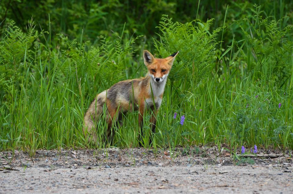 Fox, Red Fox, Wild, Nature, Animal, Wildlife, Fur