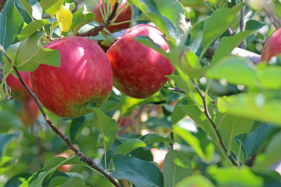 Apple, Ripe, Red, Fruit, Apple Tree, Green Tree