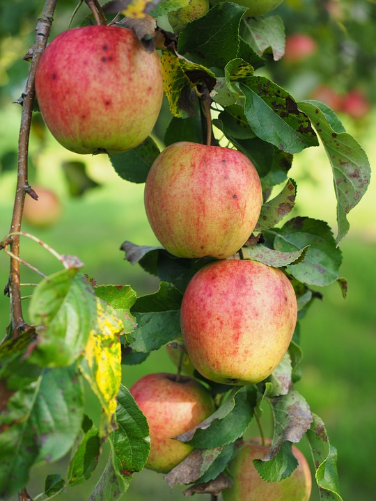 Apple, Apple Tree, Fruit, Red, Fresh, Healthy, Vitamins