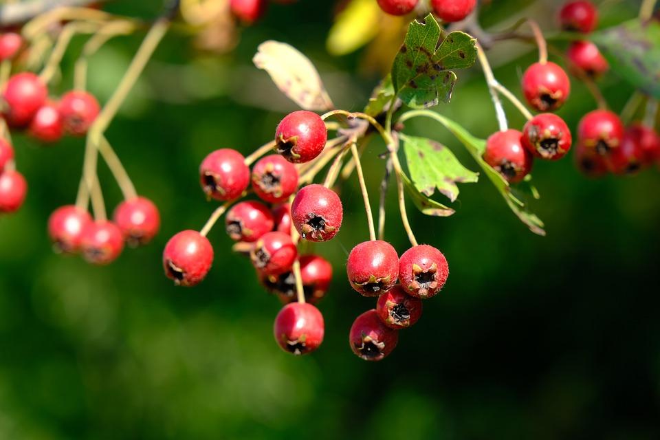 Berries, Red Fruits, Red Berries, Nature, Bush