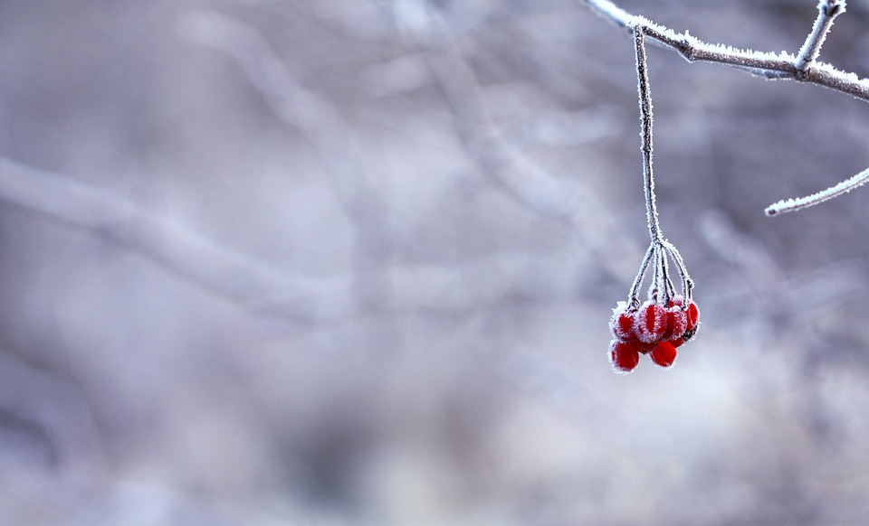 Frozen, Berries, Red, Fruits, White, Snowy, Branches