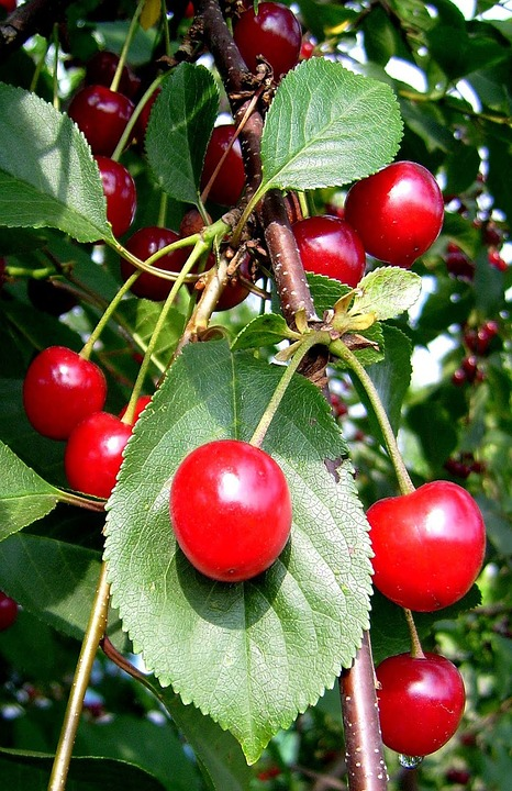 Cherries, Fruit, Fruits, Red Fruits, Sour