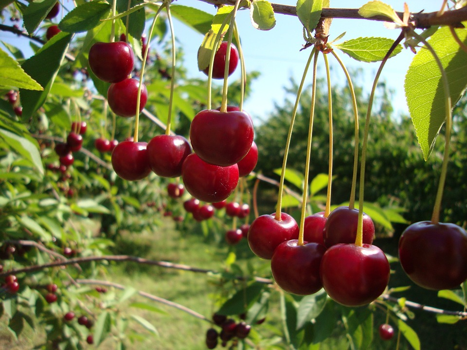 Cherry, Fruits, Red, Fruit