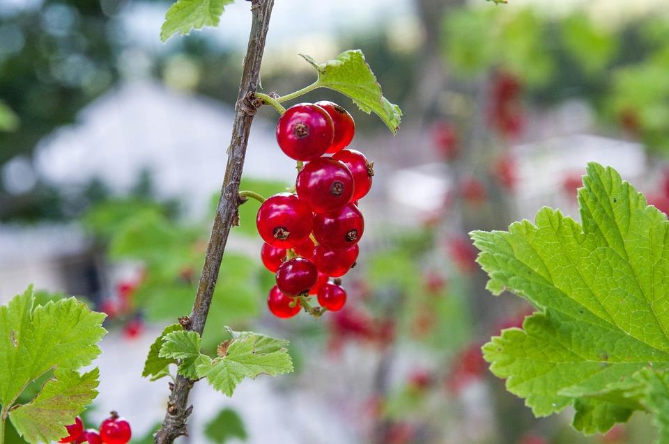 Currants, Garden, Red Fruits, Cassis, Dessert