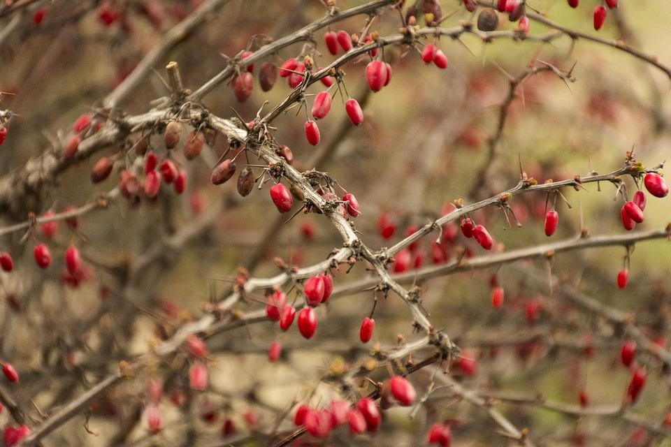 Fruits, Autumn, Nature, Red, Hip, Berry, Red Fruits