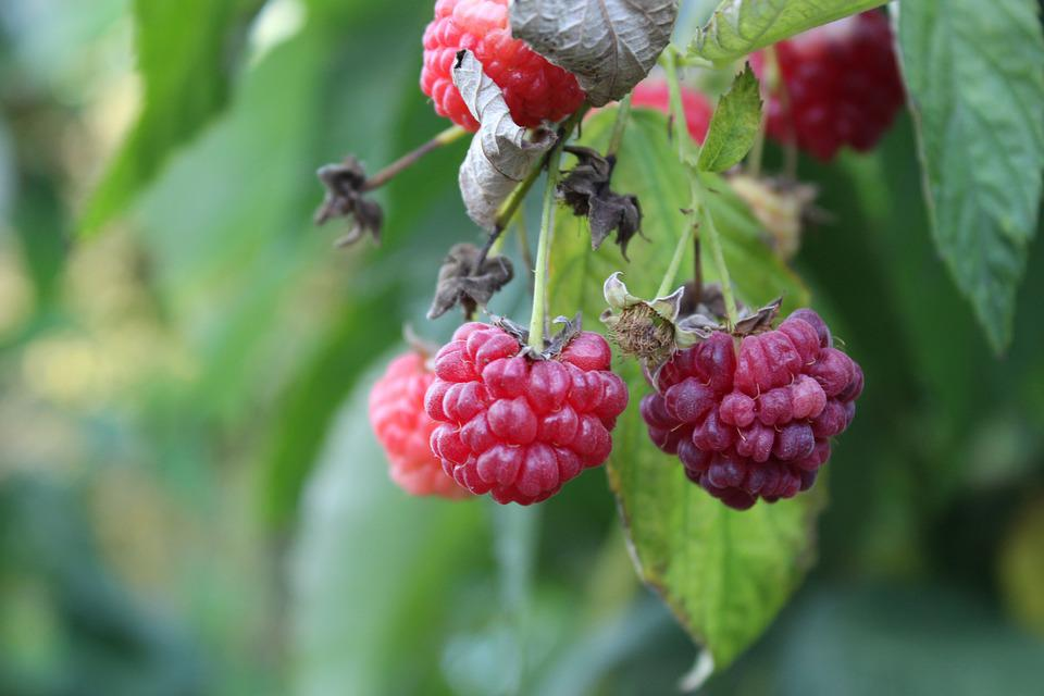 Raspberry, Fruits, Plant, Red Fruits, Leaves